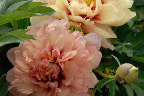 Paeonia 'Kopper Kettle' (Intersectional Peony)