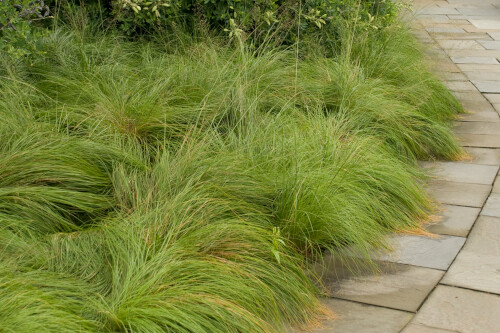 Grass- Sporobolus heterolepis  (Prairie Dropseed)