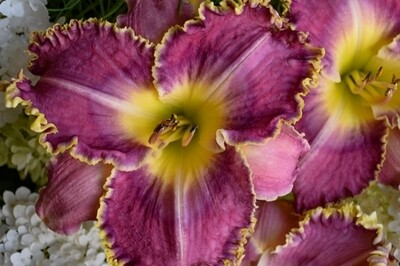 Hemerocallis 'Raspberry Eclipse' (daylily)