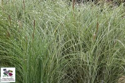 Grass - Miscanthus sinensis 'Morning Light'