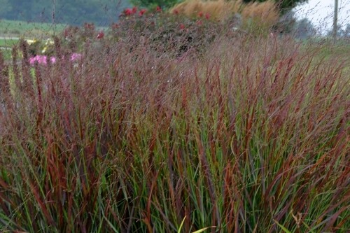 Grass - Panicum 'Cheyenne Sky' PRAIRIE WINDS Collection (Proven Winners)