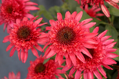 Echinacea 'Giddy Pink' (coneflower)