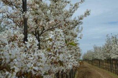 Amelanchier canadensis (Shadblow Service Berry)