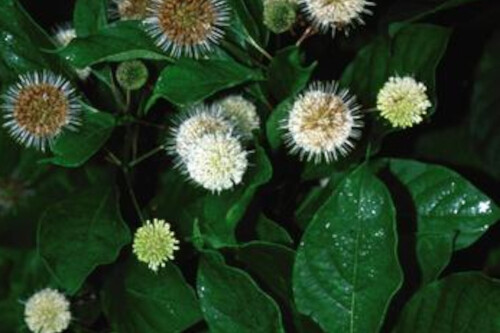 Cephalanthus occidentalis (Buttonbush)