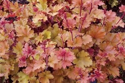 Heuchera 'Marmalade' (coral bells)
