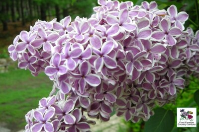Syringa vulgaris (LIlac) 'Sensation'