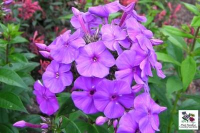 Phlox paniculata FLAME Series Purple