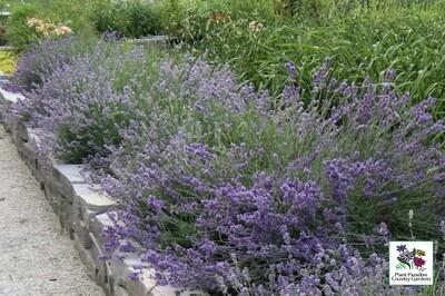 Lavender angustifolia 'Munstead' (English Lavender)