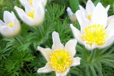 Pulsatilla vulgaris 'Alba' (pasque flower)
