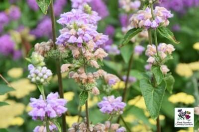 Phlomis tuberosa (Jerusalem Sage)