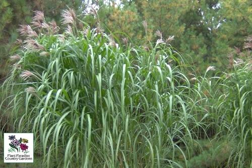 Grass - Miscanthus sinensis 'Giganteus'