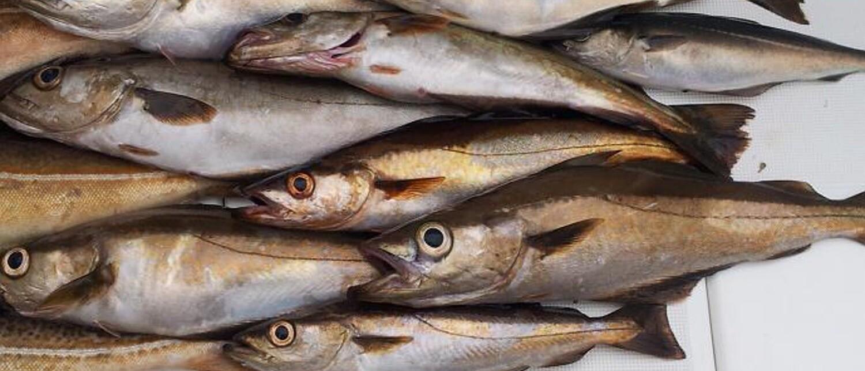 Hvitfiskfiletpulver (proff/storkjøkken)