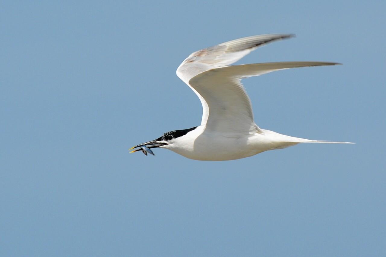Sponsor a Sandwich Tern