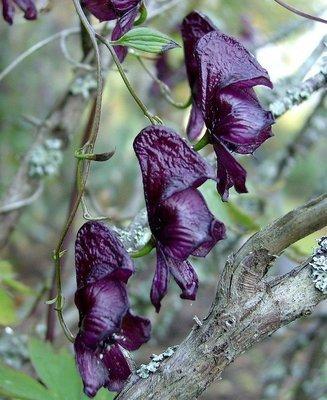 Aconitum hemsleyanum, köynnösukonhattu