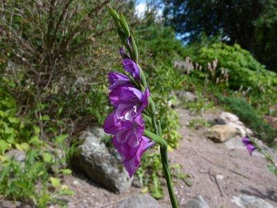 Gladiolus imbricatus,  Idänmiekkalilja