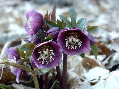Helleborus x hybridus  'Luua Plum'