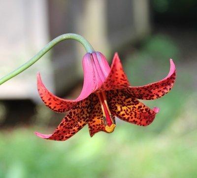 Lilium canadense var. coccineum,  punakanadanlilja