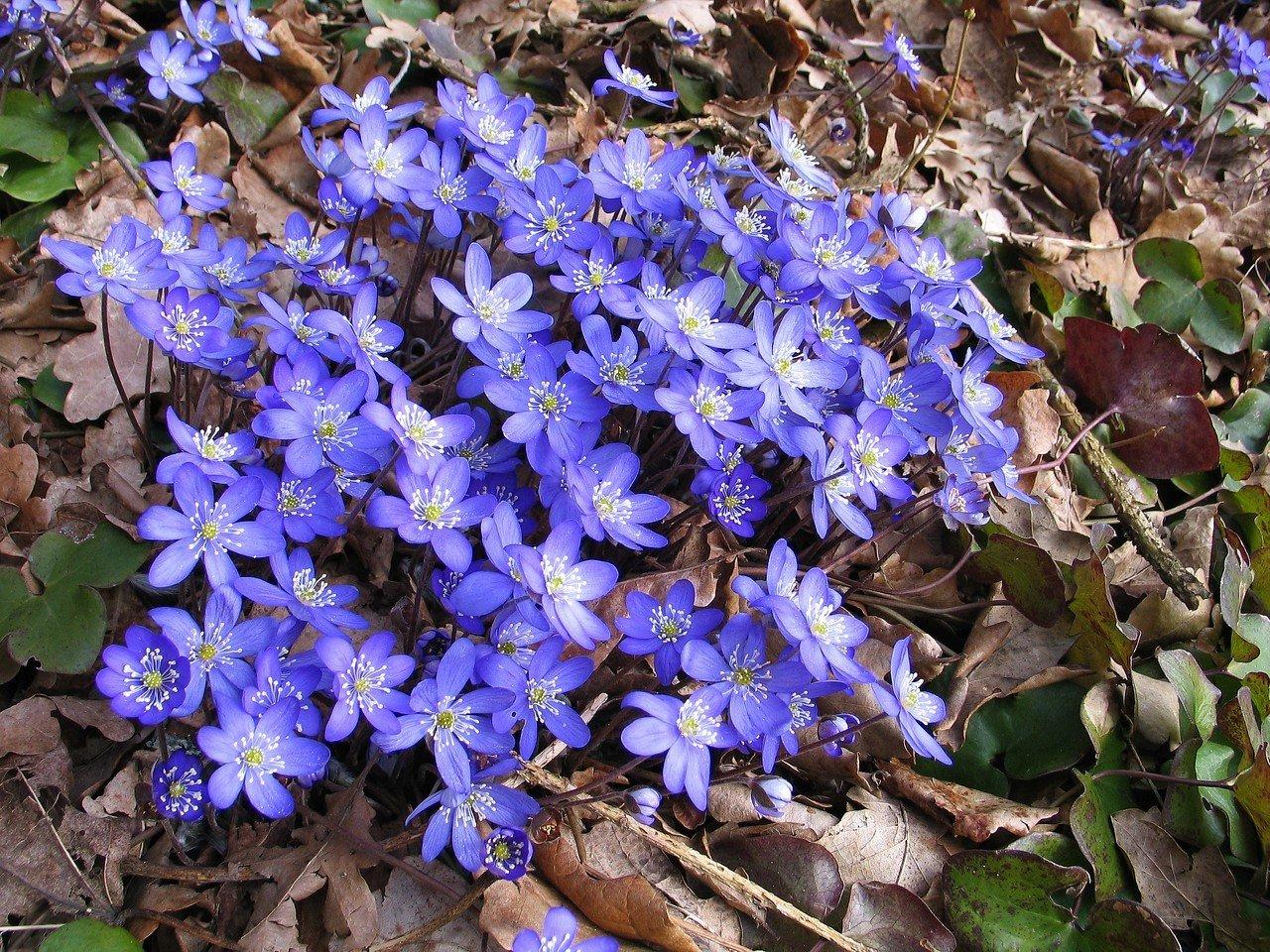Hepatica nobilis,  sinivuokko