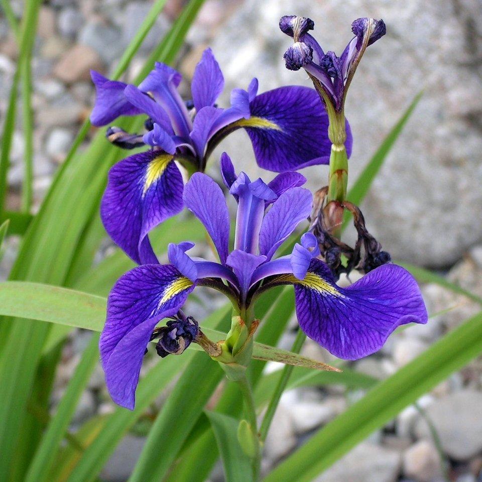 Iris versicolor,  kirjokurjenmiekka