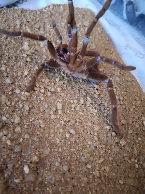 Hysterocrates gigas (1-2cm) Cameroon Red Baboon