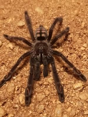 Psalmopoeus irminia (2-3cm)  Suntiger tarantula