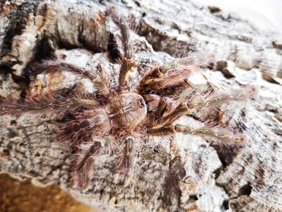 Poecilotheria ornata (3-4cm) Fringed Ornamental