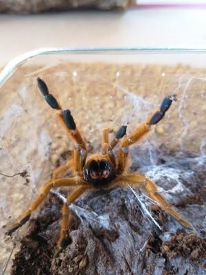 Pterinochilus murinus rcf (5-6cm)  OBT rcf
