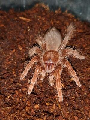 Pelinobius muticus (2-3cm) King Baboon