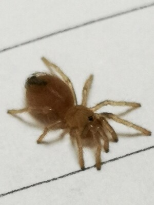 Aphonopelma bicoloratun (0.5-1cm) Mexican blood leg