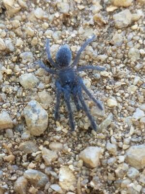Chilobrachys dyscolus sp Vietnam Blue(2-3cm)