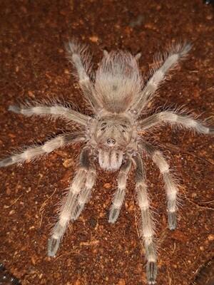 Nhandu tripepii Brazilian giant blonde (1-2cm)