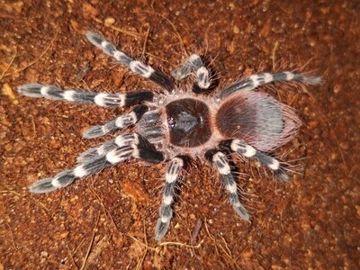 Acanthoscurria geniculata male (6-7cm) Giant White Knee
