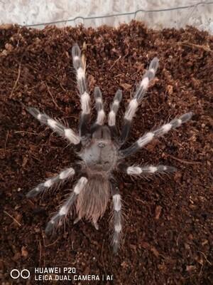 Nhandu chromatus Female  (6-7cm)  Brazilian red and white