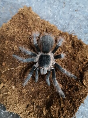 Nhandu carapoensis  Male (7-8cm) Brazilian Red