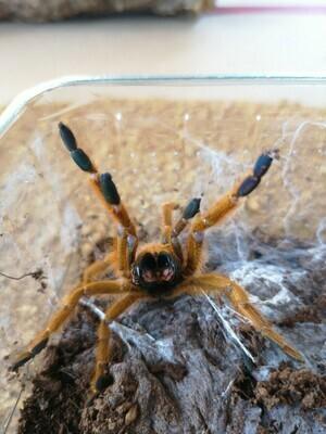 Pterinochilus murinus rcf (2cm)  OBT rcf (Orange bitey thing)