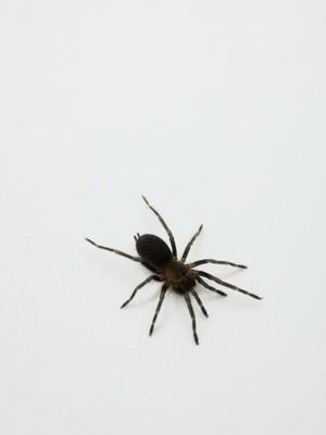 Holothele longipes (1cm)