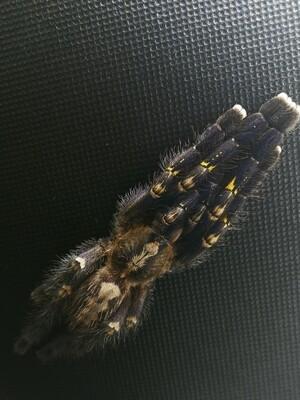 Poecilotheria metallica Female  Gooty Ornamental (8-9cm)