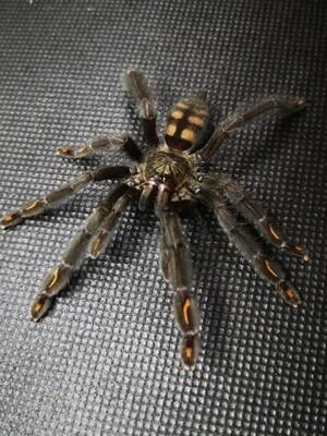 Psalmopoeus irminia Suntiger tarantula (5-6cm)