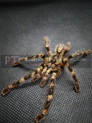 Poecilotheria striata female (9-10cm) Mysore Orange Legged Ornamental (1 leg missing)