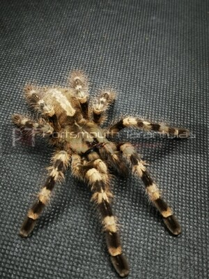 Poecilotheria tigrinawesseli  Female (14-15cm) tiger ornamental