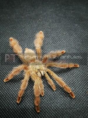 Pseudoclamoris  gigas  Orange Tree Spider (3-4cm)
