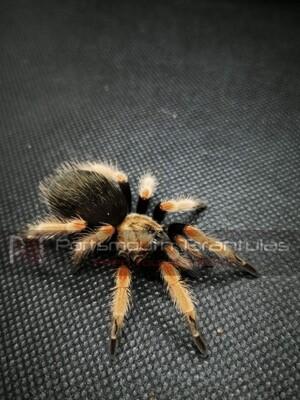 Brachypelma boehmei Female (7-9cm) Mexican Fireleg