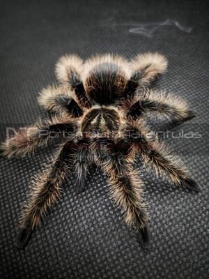 Tliltocatl albopilosum Nicaragua  male (7-8cm) Curly hair (True form)