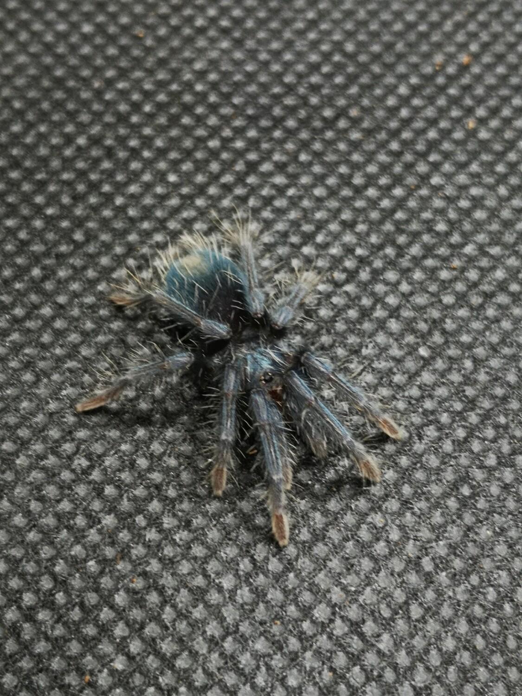 Phormictopus sp south hispaniola