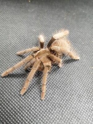 Hysterocrates laticeps (7-8cm)