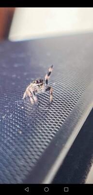 Phidippus regius regal jumping spider (1cm)