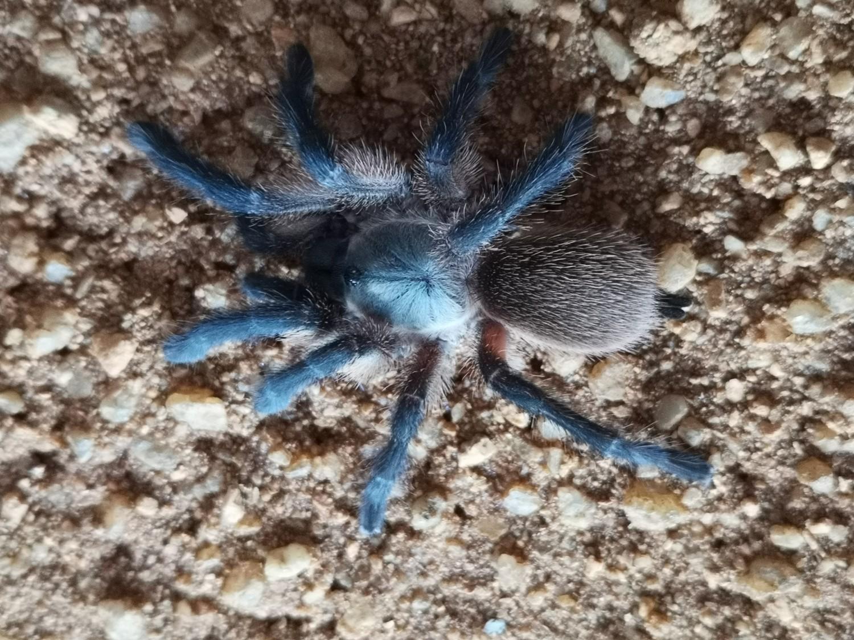 Monocentropus balfouri  Female (7-8cm) Socotra Island Blue Baboon X10