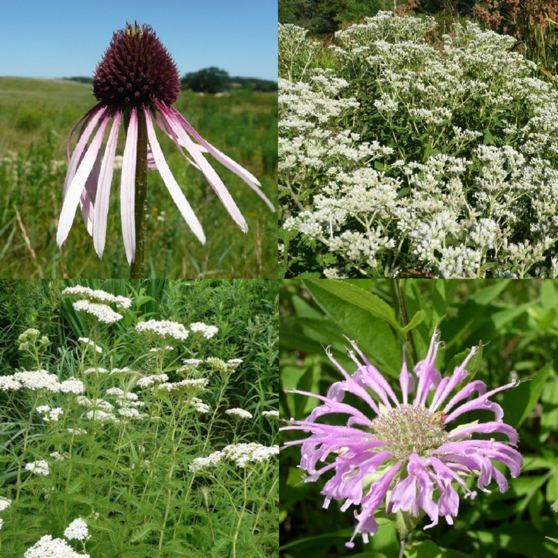 Summer Medicinal Pocket Garden -  Full to Partial Sun, Wet/Mesic to Dry/Mesic