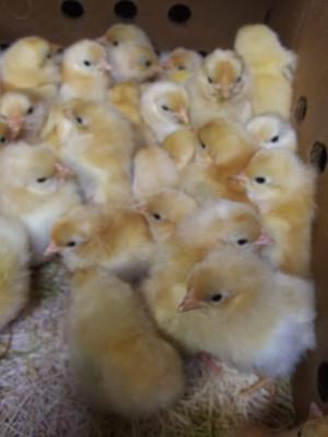 Black Tail Buff Japanese Bantam Chicks