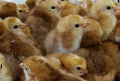 Buckeye Chicks
